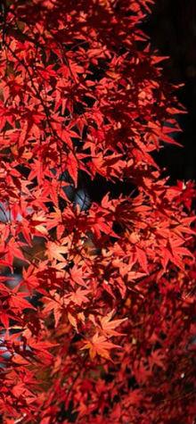 Red Leaf 2
